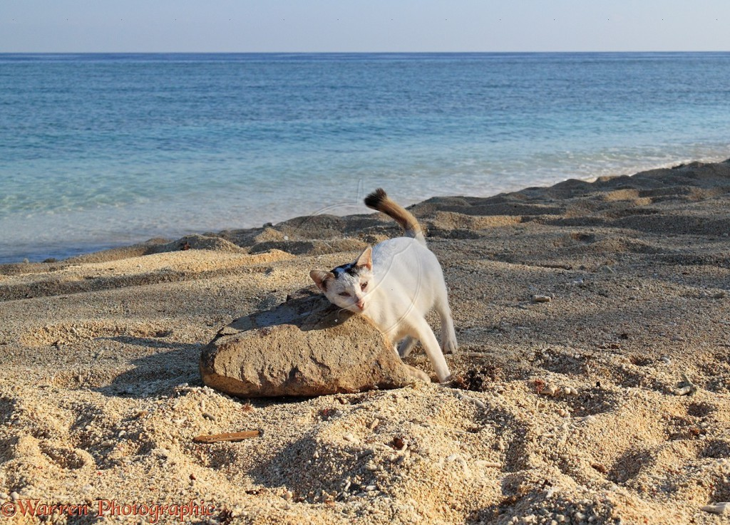 Club-tailed cat rubbing against a rock on a beach