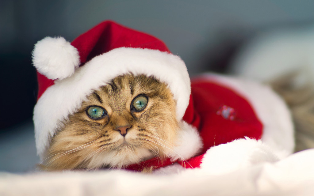 Animals___Cats_Beautiful_Christmas_Cat_046817_